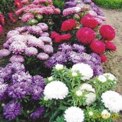 Астра-украшение вашего цветника!