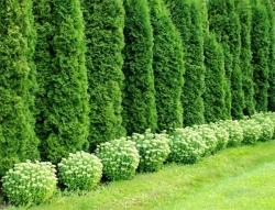 Живая изгородь в дизайне сада