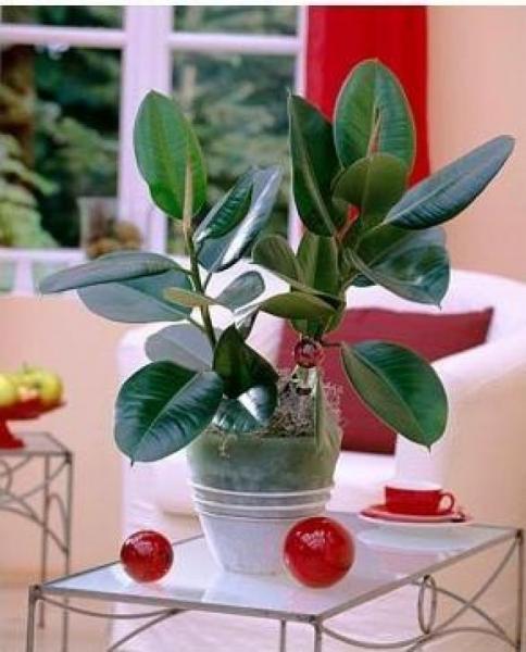 Комнатные цветыуход за фикусами в домашних условиях