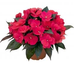 Нежный цветок бальзамин
