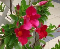 Мандевилла - дерево любви из Мексики