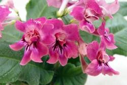 "Стрептокарпус: яркий комнатный цветок женский онлайн журнал ""Pretty Women Life"""