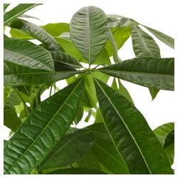 Экзотическое растение для дома – пахира