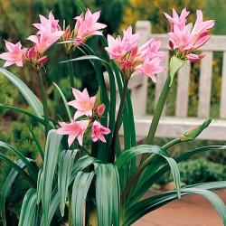 Кринум: разновидность комнатной лилии
