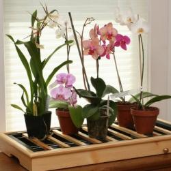 Как ухаживать за орхидеями?