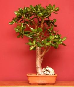 Цветок денежное дерево